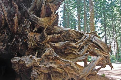 Fallen_sequoia_roots